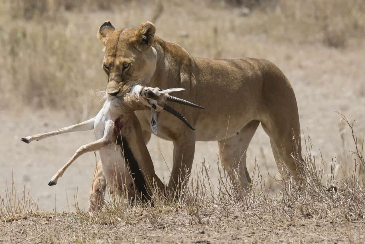 lioness with kill in tanzania