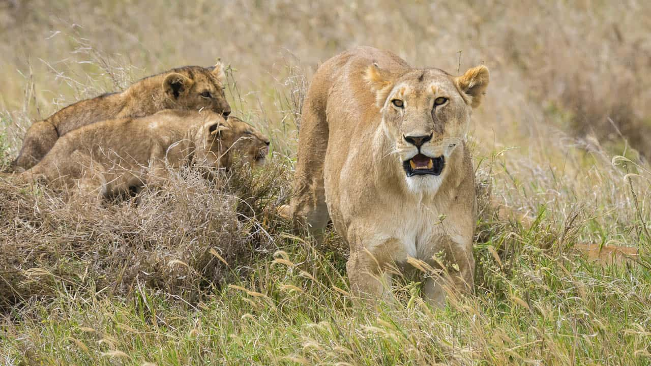african safari animals lioness and cubs