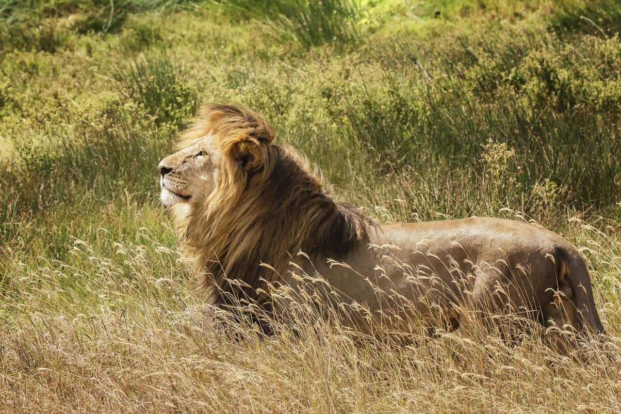 lion in the sun and grass of serengeti