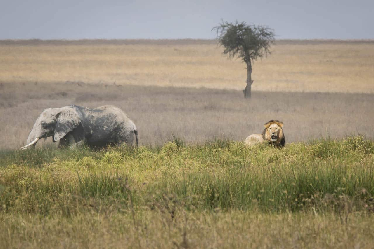 lion and elephant in tanzania