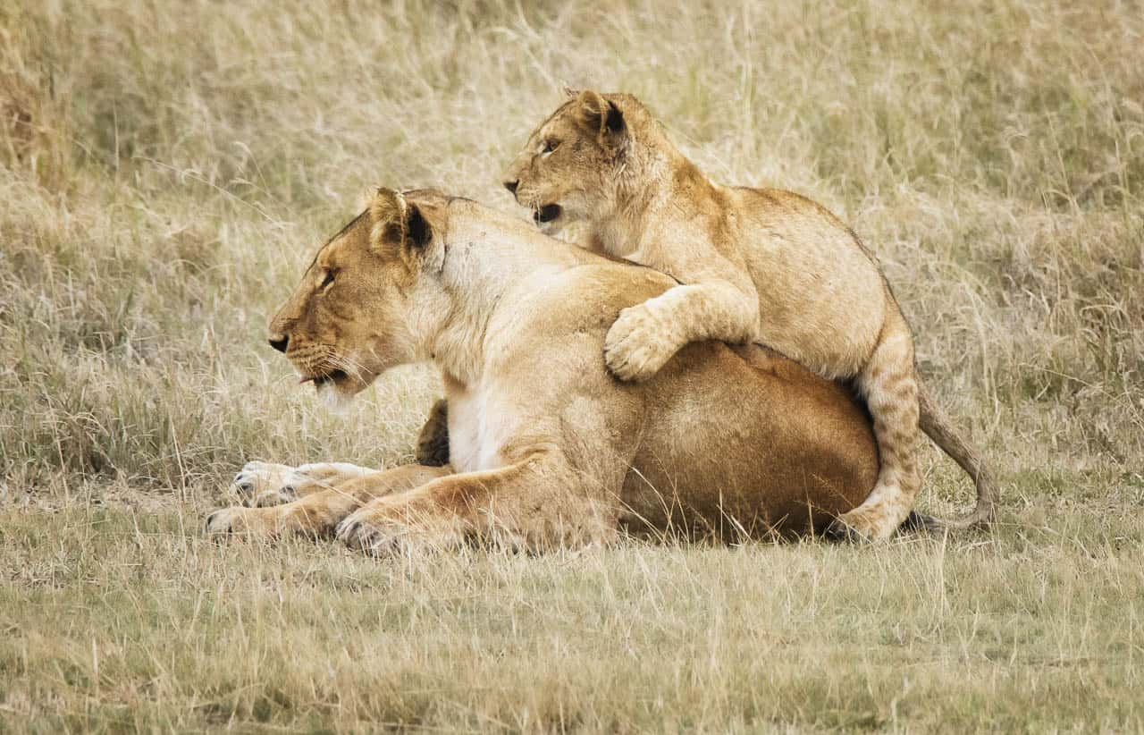 safari animals mother and cub
