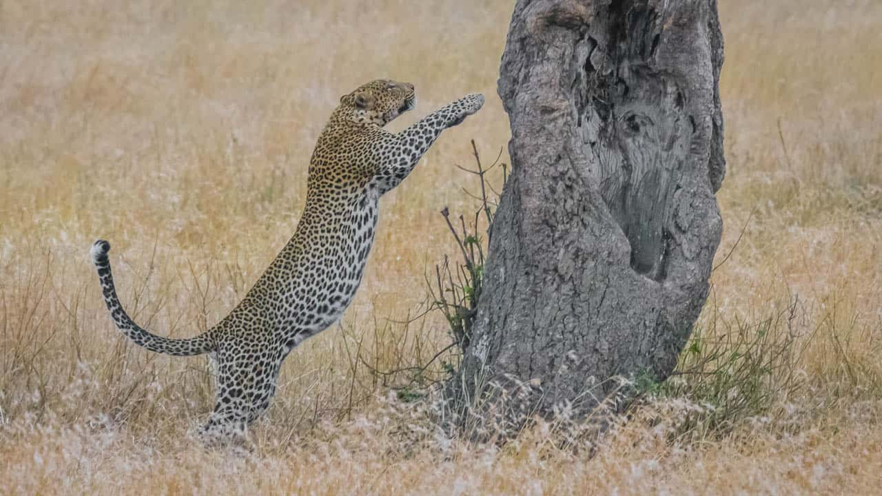 african animals leopard leaping onto tree