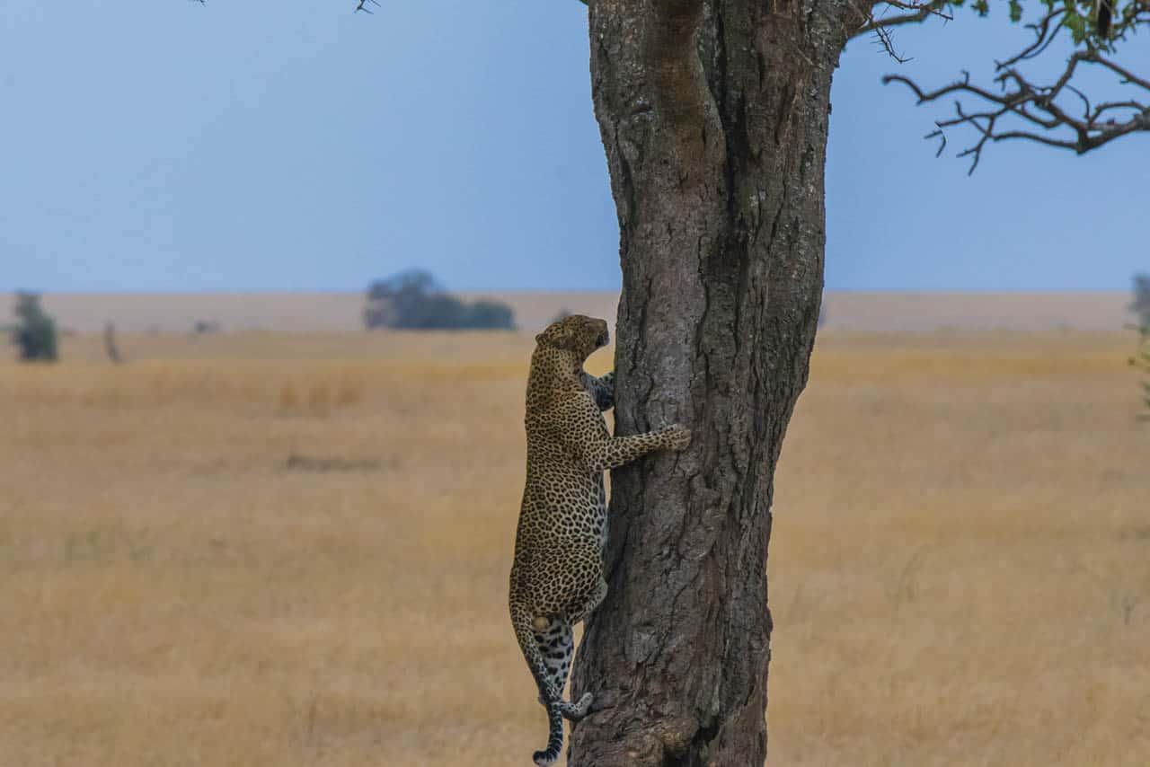 african animals on safari leopard climbing tree
