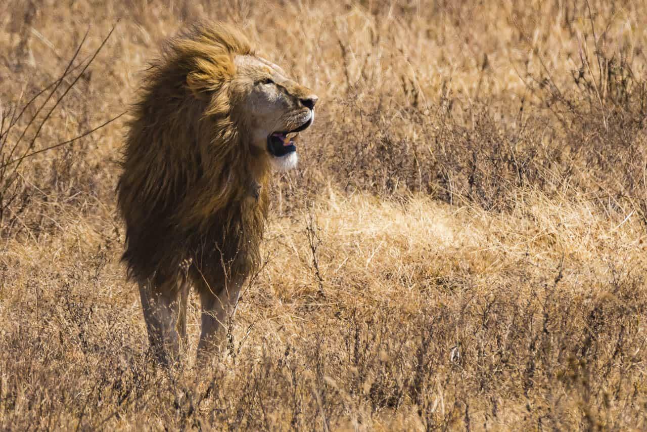 tanzania safari animals lion in ngorongoro crater