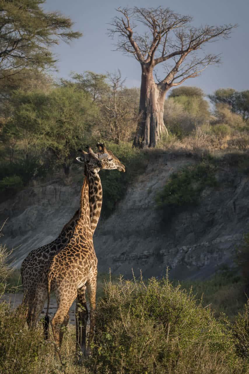 africa safari animals giraffes