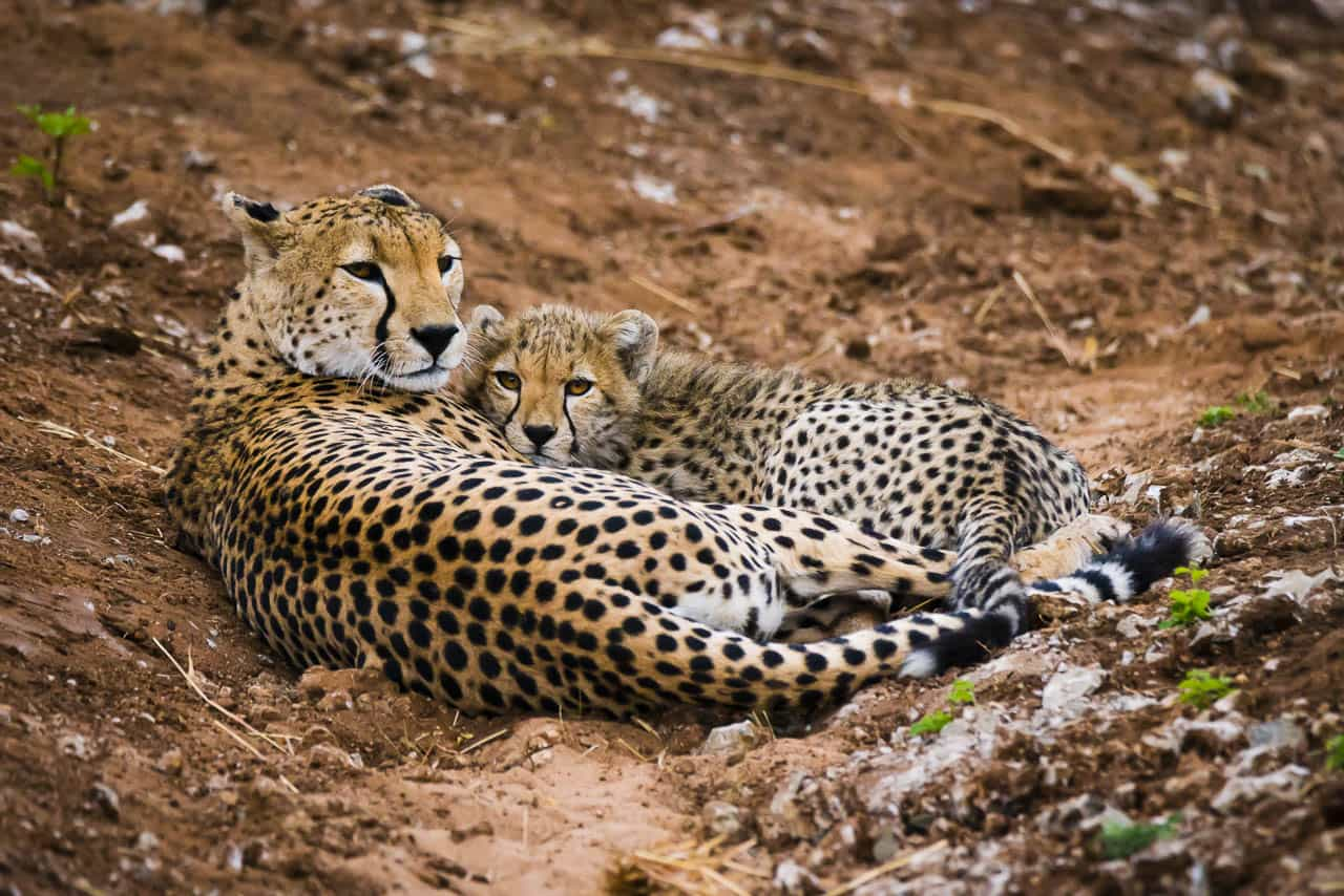 african wildlife mother cheetah and cub