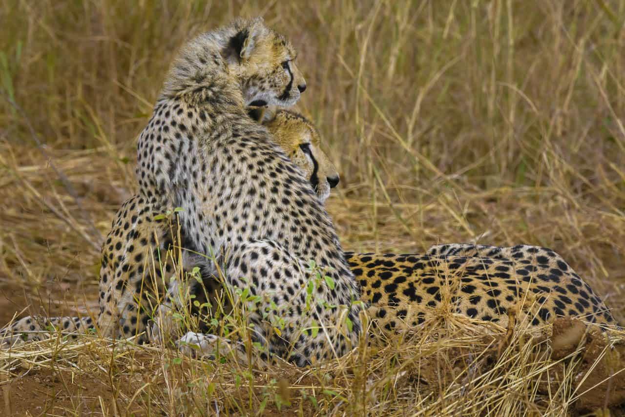 african safari animals cheetah pose