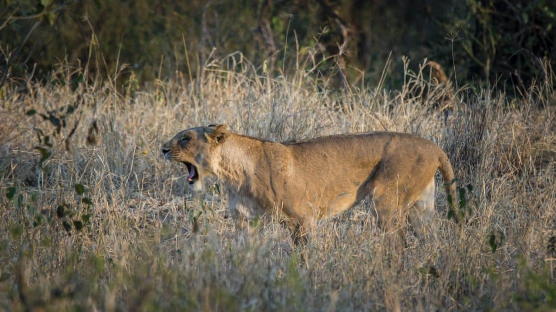 african wildlife safari photos | lioness yawning