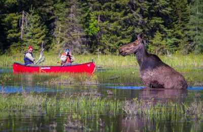 alongquin park luxury camping moose