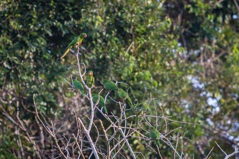 parrots on the amazon