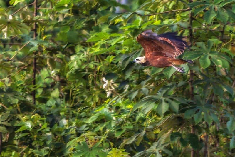 amazon river images hawk