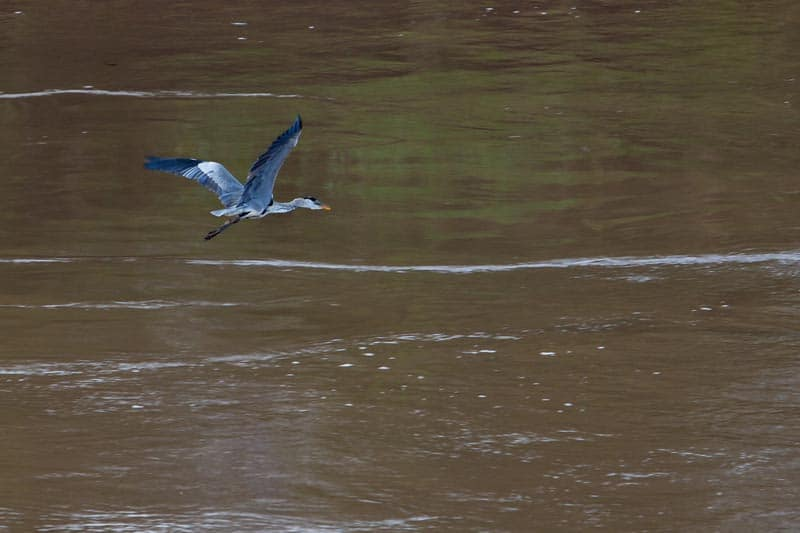 bird flying over amazon river in pictures