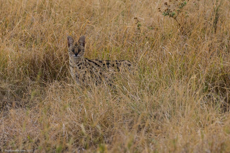 Serval Cat in Amboseli NP