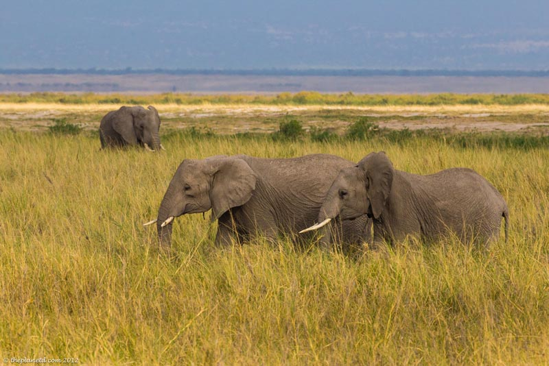 elephants in long grass