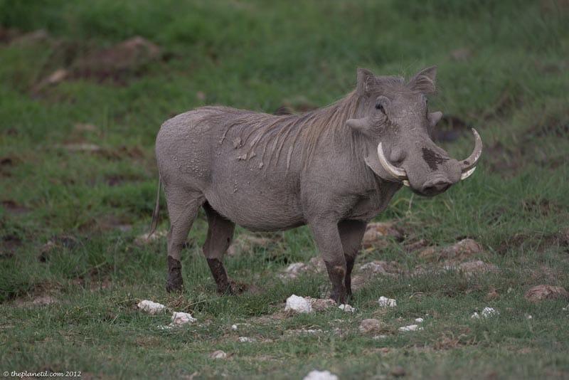 warthog kenya safari