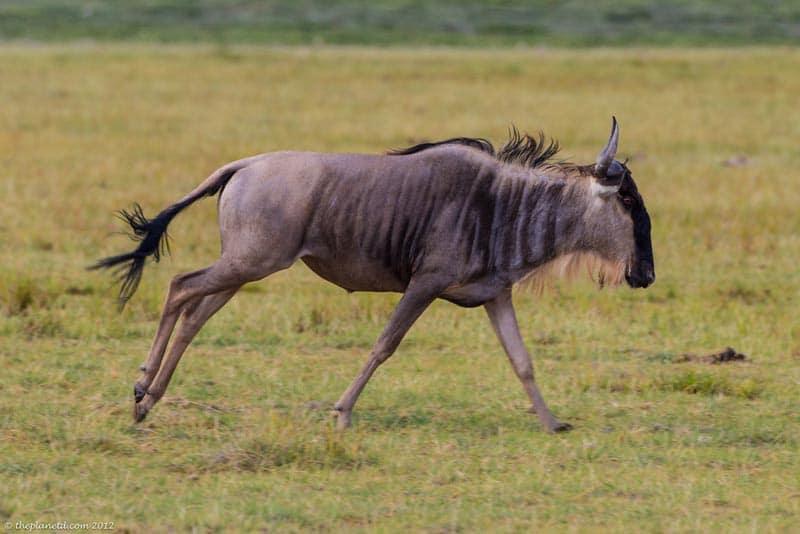 kenya safari amboseli wildebeest