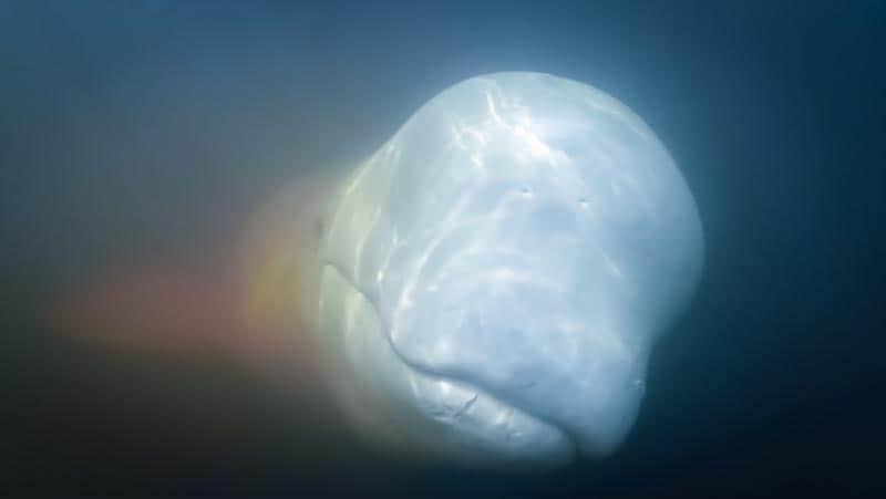 marine encounters beluga whales