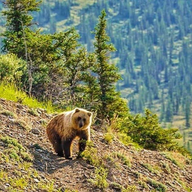 animal views in the wild grizzly bears
