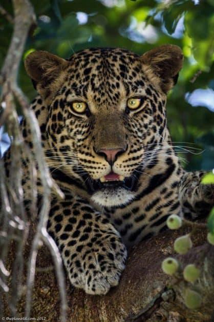 animal experiences africa leopard