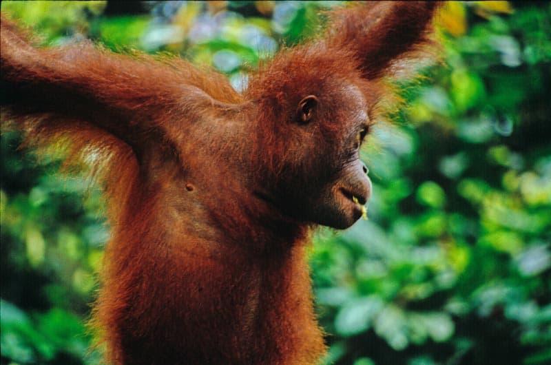 animal sightings orangutans of borneo