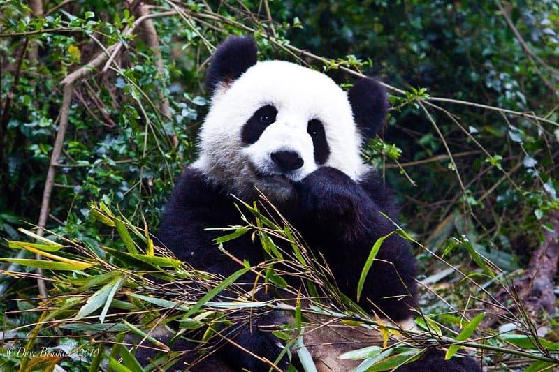 wildlife encounters pandas of china