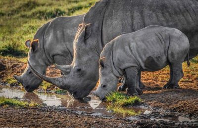 animal encounters rhinos of Kenya