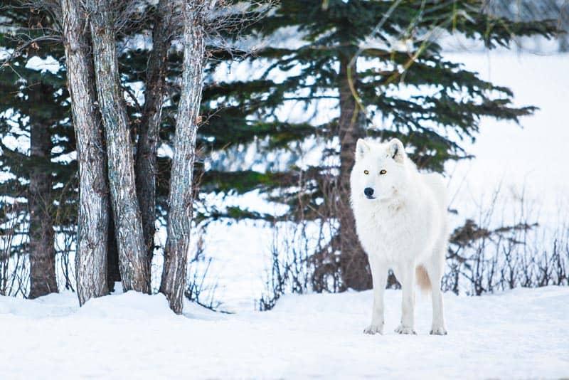 animal experiences wolfdogs