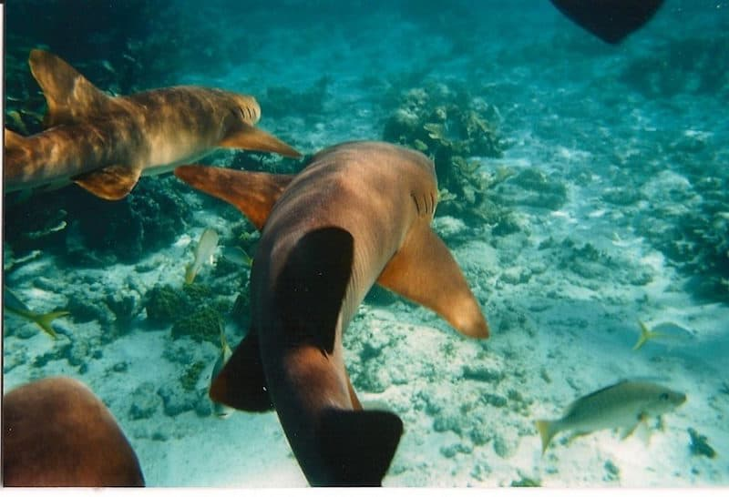 wildlife encounters belize sharks