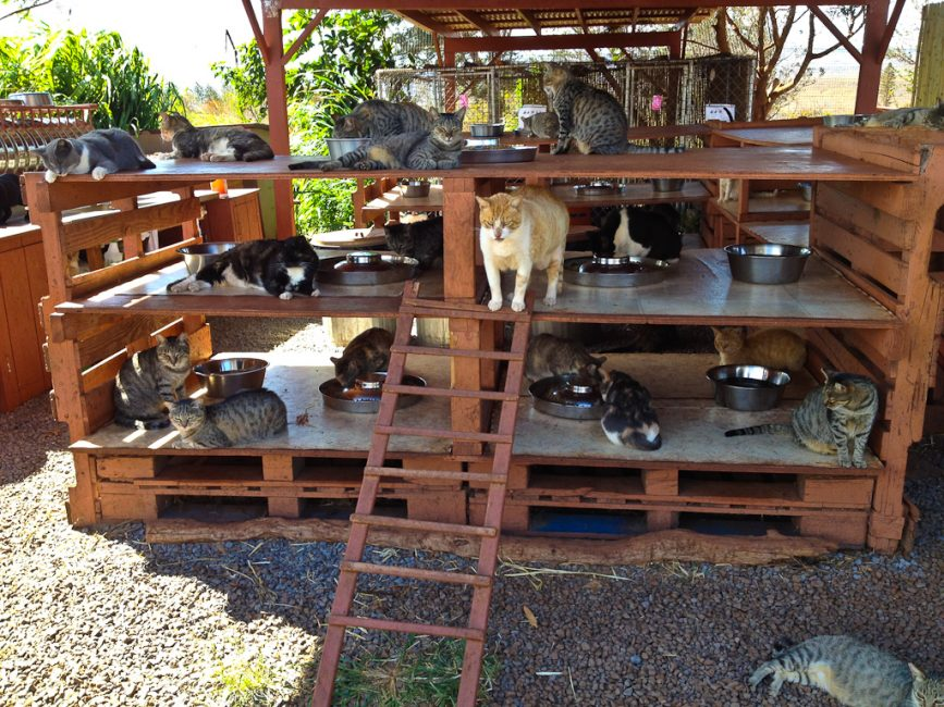 catfurteria at cat shelter in lanai