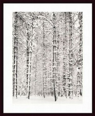 snow in pine forest