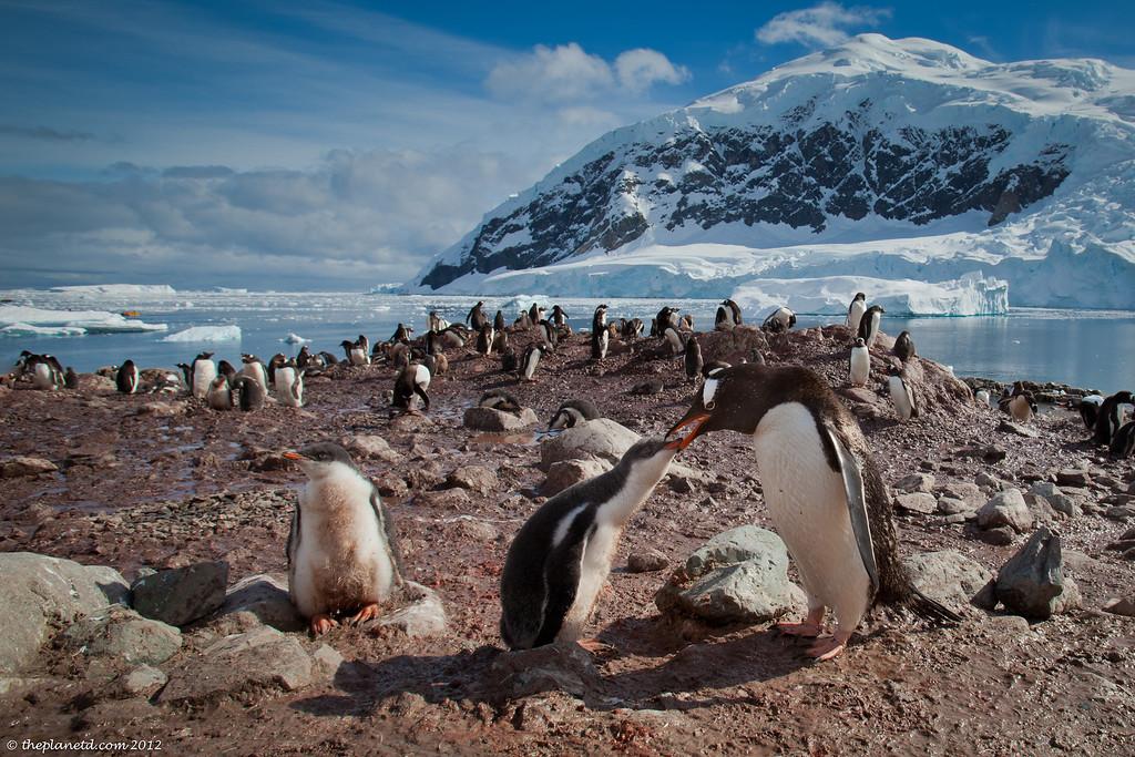 mother feeding baby penguin