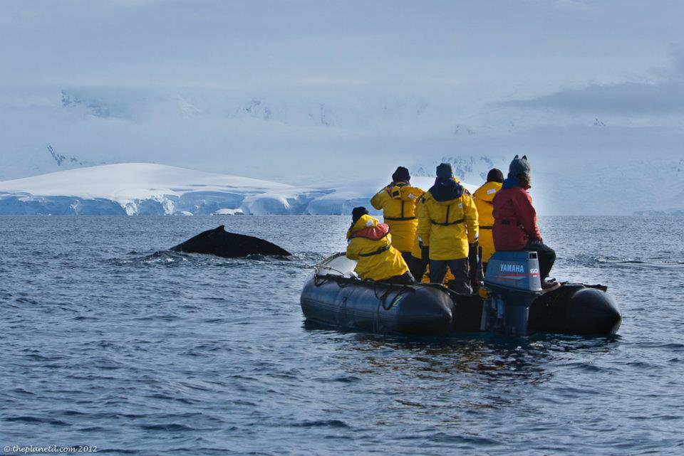 whale in antarctica on zodiac tour