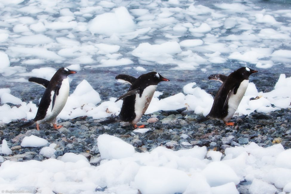 Penguins walking together in Antarctica