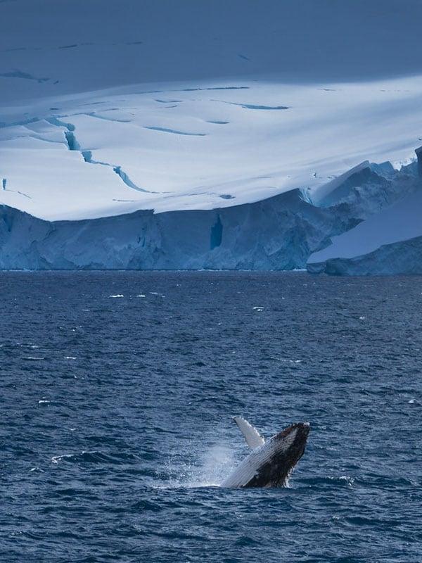 antarctica whale