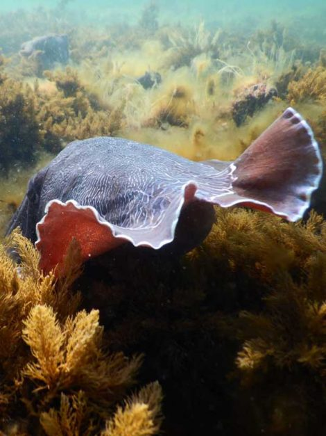 giant cuttlefish of south australia