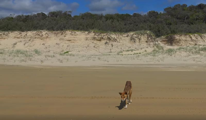 fraser island dingos
