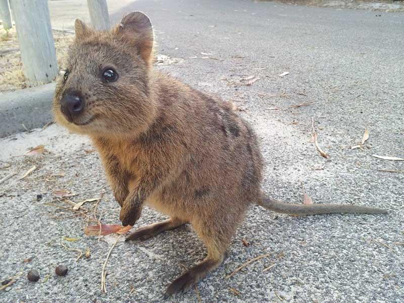 world's happiest animal quokka | best australian wildlife experienecs