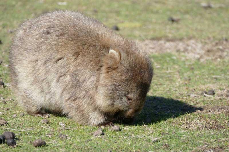 australian wildlife wombat