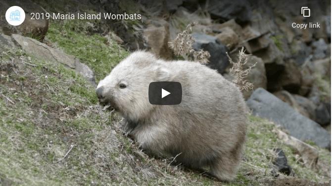 australian wildlife wombats
