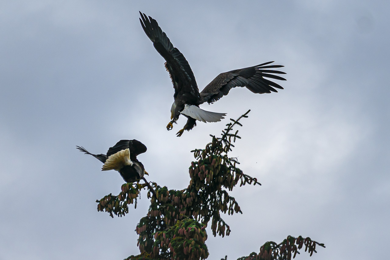 Eagles working on their nest in alaska