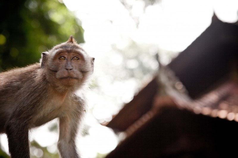 bali local guide monkey