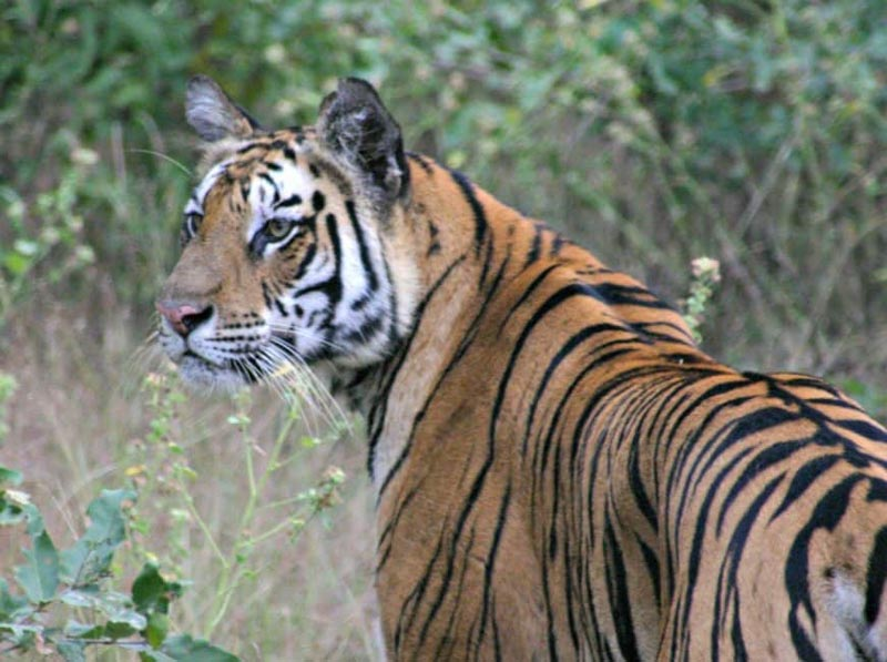 bengal tiger of India
