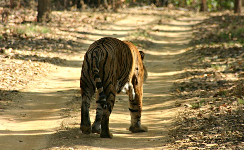 searching for bengal tigers