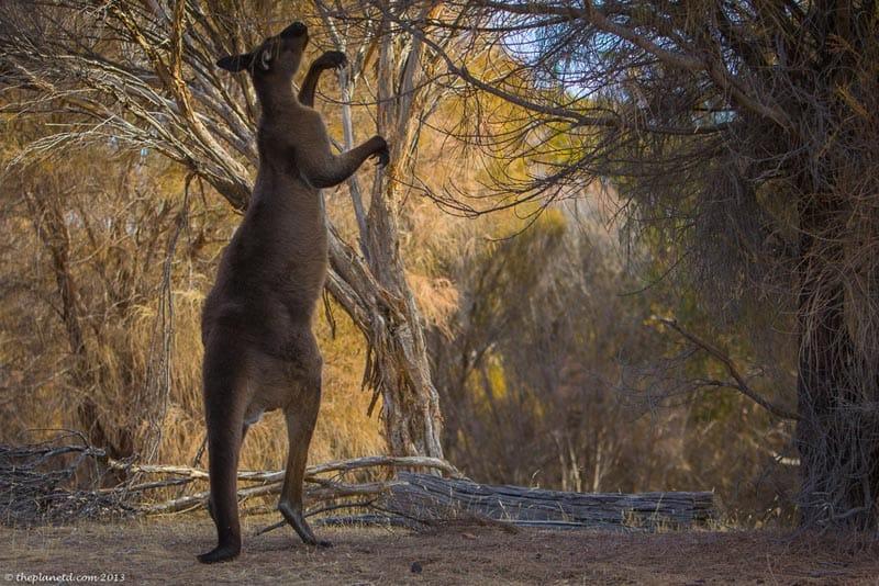 kangaroo on kangaroo isalnd