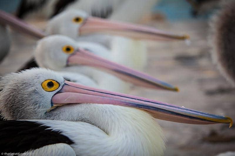 kangaroo island pelicans