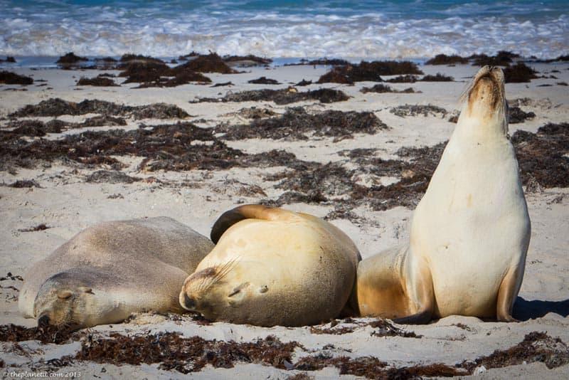 kangaroo island things to see seals