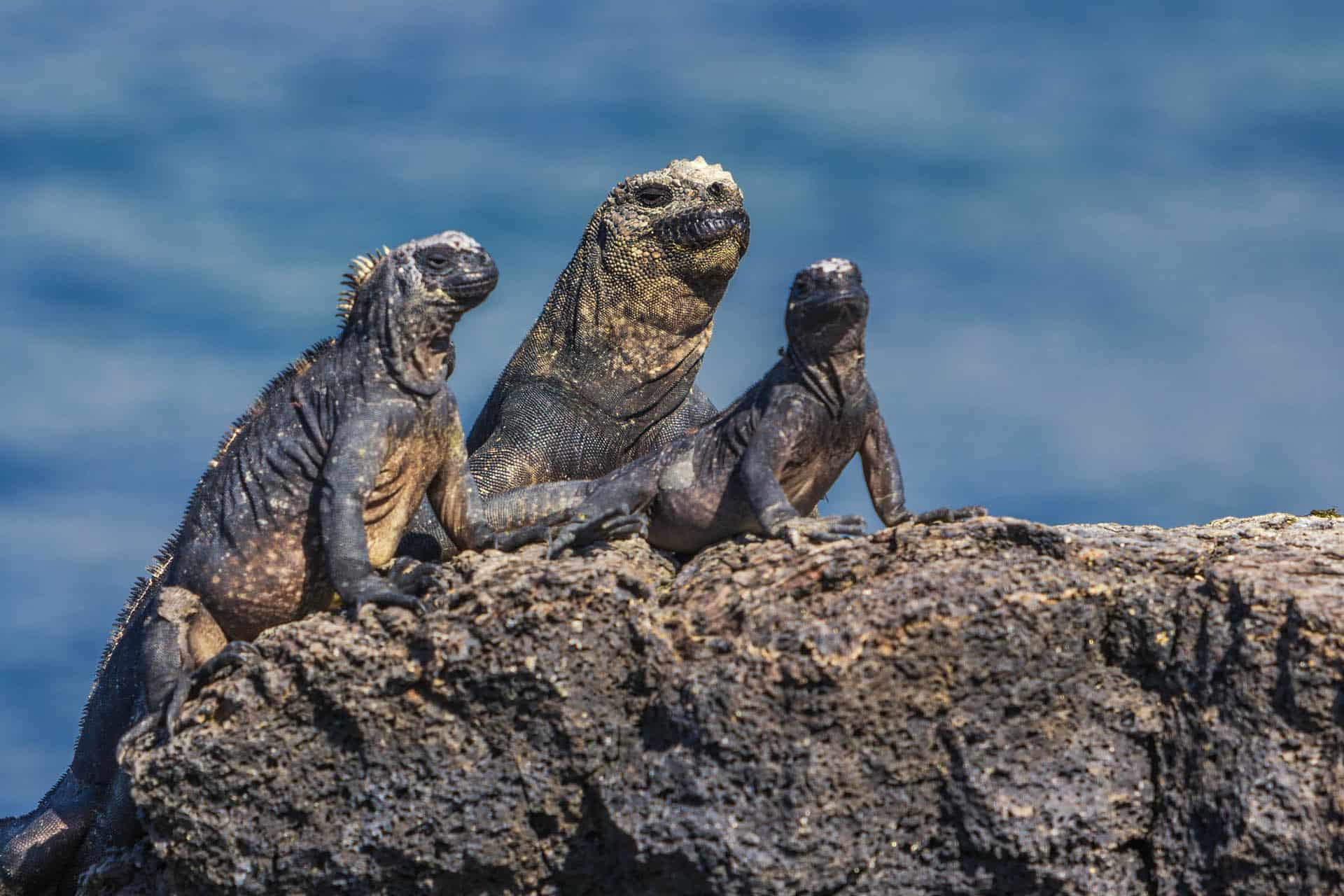 family blogs about travel | family of three marine iguanas in the galapagos