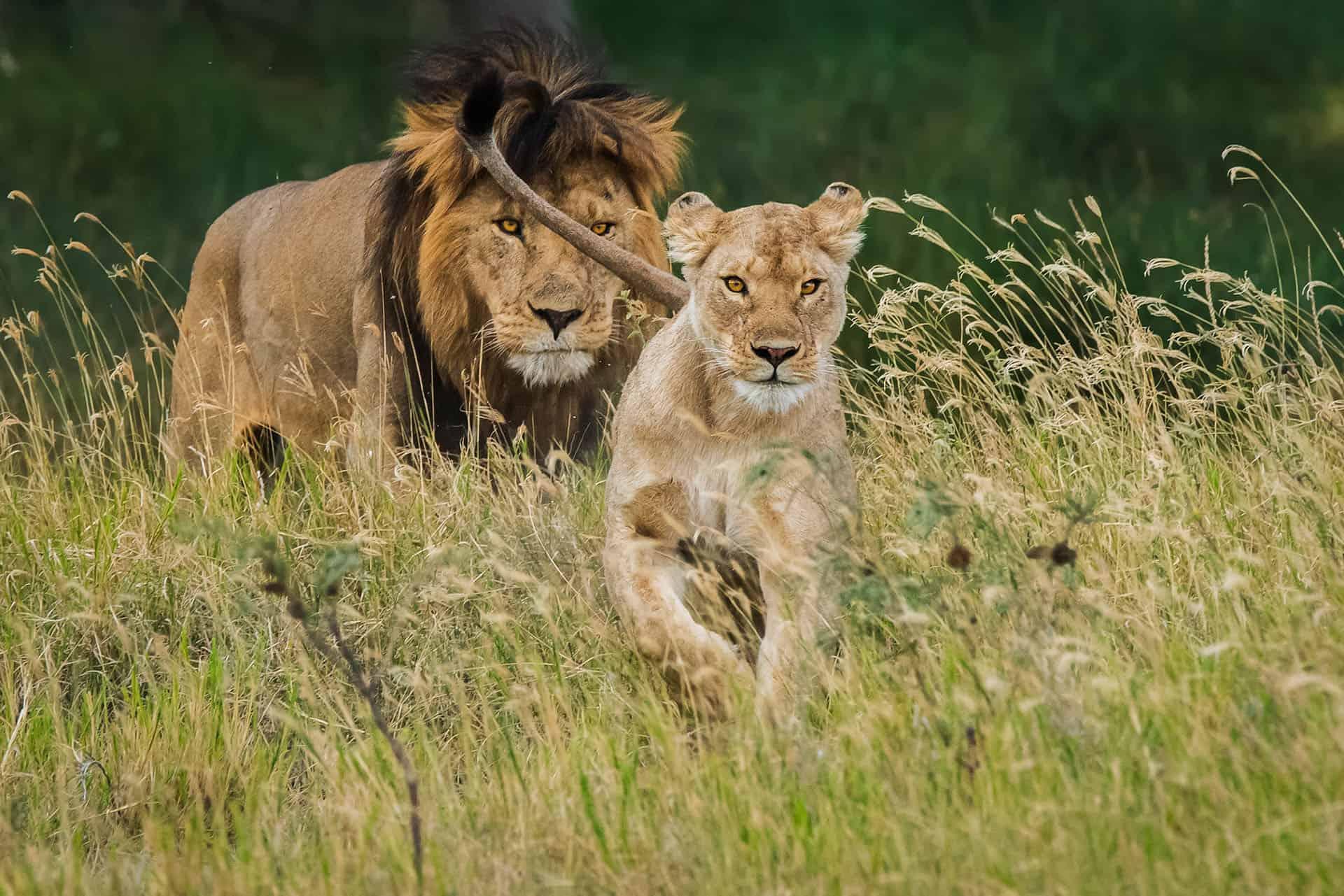 male lion chasing female lion serengeti tanzania on everyone's travel bucket lists