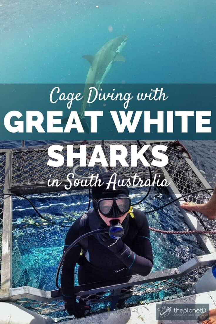 Australia is known for it's killer great white sharks. We had already been cage diving before in South Africa so we were eager to try in South Australia. | cage diving great white sharks South Australia