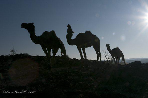 camels-rajasthan-desert-sunset